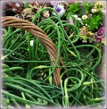 garlic-scapes
